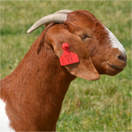 A beautiful Boer Goat Doe in great condition