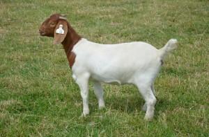 Photo of a Boer doe