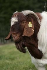 sarahs photos goats 1